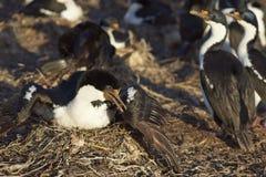 Imperial Shag - Falkland Islands Royalty Free Stock Image