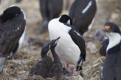 Imperial Shag - Falkland Islands Royalty Free Stock Photos
