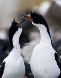 Imperial Shags (Cormorants). A pair of Imperial Shags Royalty Free Stock Images