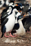 Imperial Shags Courting Royalty Free Stock Image