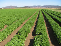 Imperial Valley lettuce farm. Rows of lettuce extend into the distance on an Imperial Valley, California farm Royalty Free Stock Photo