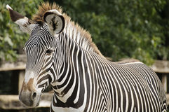 Imperial zebra royalty free stock images