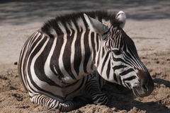 Imperial zebra Stock Images