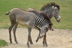 Imperial zebra Stock Image