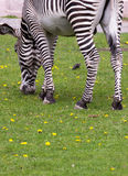 Imperial zebra on the field Stock Photos
