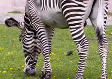 Imperial zebra on the field Stock Images