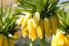 Imperiale di corona giallo Immagine Stock