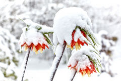 Imperiali Fritillaria κρίνων κάτω από το χιόνι Στοκ φωτογραφία με δικαίωμα ελεύθερης χρήσης