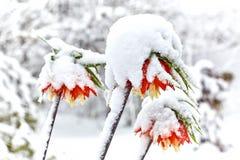 Imperiali van leliesfritillaria onder de sneeuw Royalty-vrije Stock Fotografie