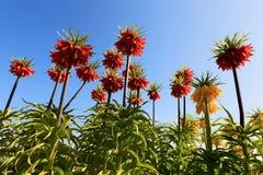 Imperialis del Fritillaria fotos de archivo