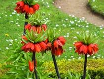 Imperialis di Fritillaria Fotografia Stock