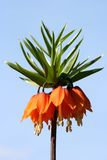 Imperialis flower. The Imperialis flower bloom and stem Royalty Free Stock Photos