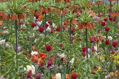 Imperialis Fritillaria кроны имперские Стоковые Изображения RF