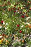 Imperialis Fritillaria кроны имперские Стоковые Фото