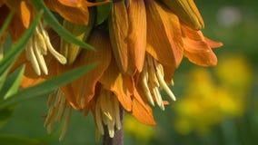 Imperialis Fritillaria цветут видеоматериал