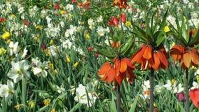 Imperialis imperiales de corona o imperiales planta ornamental, flor de la familia de lirio, rojo floreciente del Fritillaria del almacen de video
