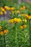 Imperialis jaunes grands de fritillaria Photo libre de droits