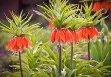 Imperialis L. di Fritillaria. Immagini Stock