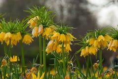 Imperialis Lutea del Fritillaria Fotografía de archivo