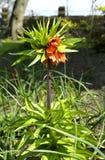 Imperialis Rubra di Fritillaria immagine stock libera da diritti