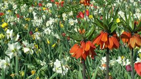 Imperialis sierplant van kroon keizer of keizer fritillary Fritillaria, de bloem van de leliefamilie, het bloeien rood stock video