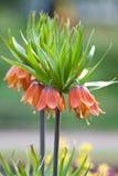 Imperialis van Fritillaria Royalty-vrije Stock Foto