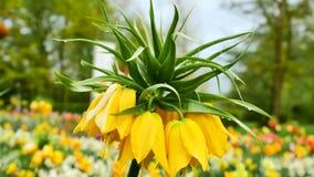 Imperialis van Fritillaria De camerabewegingen terug op de schuif Kleurencorrectie stock video