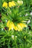 Imperialis van Fritillaria De gele bloem op het bloembed royalty-vrije stock foto