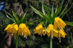 Imperialistisk blomma f?r exotisk gul Fritillaria p? en suddig bakgrund av granfilialer royaltyfria foton