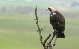 Imperialistisk Eagle adulta Arkivfoto