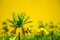 Imperialistisk gul blomma för krona Arkivbild