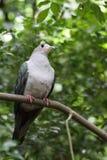 Imperialistisk Pigeon2 Arkivbild