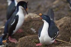 Imperialistisk shag som bygga bo på Falkland Islands Arkivfoton