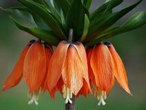 Imperialistiska blommor för krona royaltyfria foton