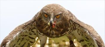 Imperialistiska Eagle Aquila Heliaca Royaltyfri Bild