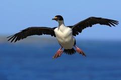 Imperialistiska shag-, Phalacrocoraxatriceps, kormoran i flykten, mörker - blått hav och himmel, Falkland Islands Fotografering för Bildbyråer
