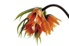 Imperialistiskt för krona (Fritillariaimperialis), närbild Arkivfoton