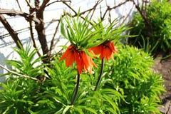 Imperialistiskt för krona i trädgården fotografering för bildbyråer