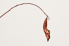 Impermanent. This is a dried leaf of a bongsai plant. Dried leaf denotes impermanent and ending Stock Photo
