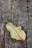 Impermanent. This dried leaf on a wooden bench denotes impermanent, ending and aged Stock Photography