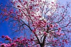 Impetiginosus rose de Handroanthus d'arbre de trompette sur un fond de ciel bleu images libres de droits