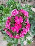 Imphal kwiat fotografia royalty free