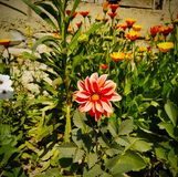 Imphal lei flowers home garden. Home Garden flower that make us feel fresh with their beauty stock image