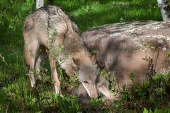 Impianti di Grey Wolf della madre (canis lupus) per prendere cucciolo Immagini Stock