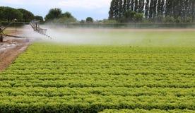 Impianto di irrigazione automatico di un campo della lattuga di estate Immagini Stock