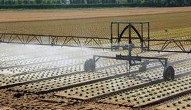 Impianto di irrigazione automatico per innaffiare lo spr verde fresco della lattuga immagine stock libera da diritti