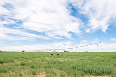 Impianto di irrigazione concentrare del perno in un giacimento dell'erba medica Fotografia Stock