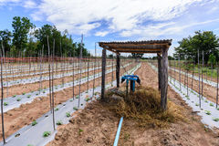 Impianto di irrigazione dell'acqua sul giacimento del melone Fotografie Stock Libere da Diritti