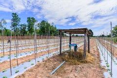 Impianto di irrigazione dell'acqua sul giacimento del melone Fotografia Stock