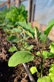 Impianto di irrigazione dell'acqua sulla piantagione della melanzana immagini stock